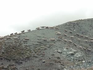 2014-05-Life-of-Pix-free-stock-photo-nature-sheep (1)